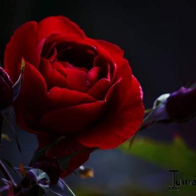 Rosa ' Guinée' -