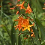 Crocosmia x crocosmiiflora 'Star of the East' -