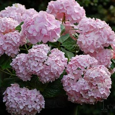 Hydrangea Macrophylla 'ENDLESS SUMMER' - Hortensia - Hydrangea Macrophylla 'ENDLESS SUMMER'