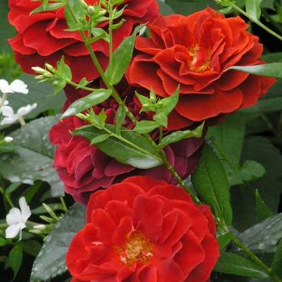 Rosa 'Brown Velvet' -