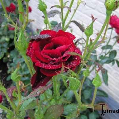 Rosa 'H.C. Andersen' -