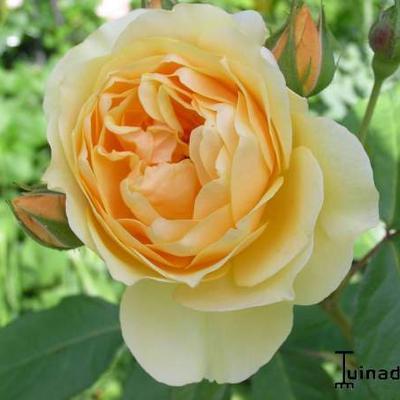 Rosa 'Graham Thomas' -
