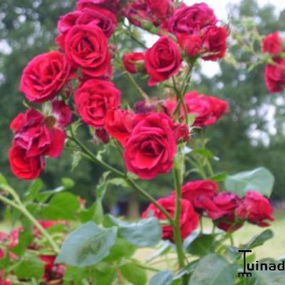 Rosa 'Sympathie' -