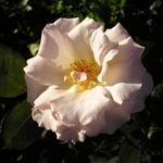 Rosa 'Terra Jubilee' -