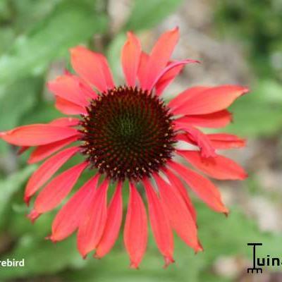 Echinacea purpurea 'Firebird' -