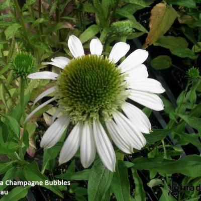 Echinacea  purpurea 'Champagne Bubbles' -
