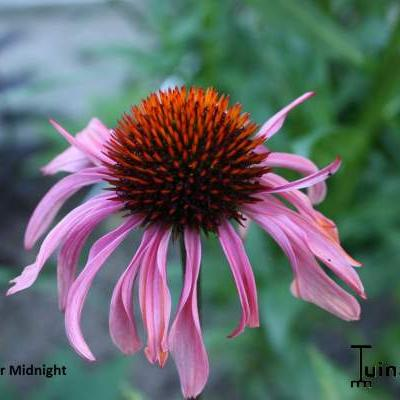 Echinacea purpurea 'After Midnight' - Rode zonnehoed