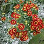 Helenium 'Flammenrad' - Zonnekruid - Helenium 'Flammenrad'