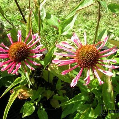 Echinacea purpurea 'Quills and Thrills'  -