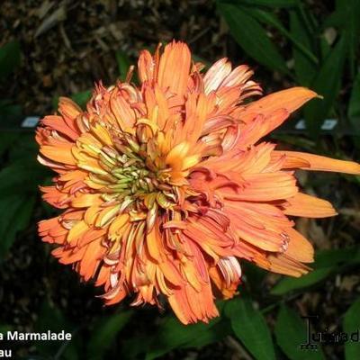 Echinacea purpurea 'Marmalade' -