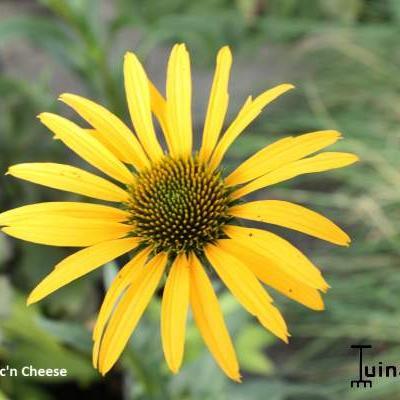 Echinacea purpurea 'Mac 'n' Cheese' -