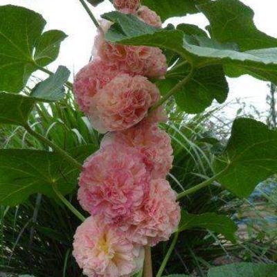 Alcea rosea 'Rose Delight -