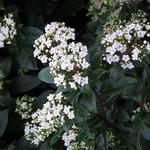 Sneeuwbal - Viburnum tinus