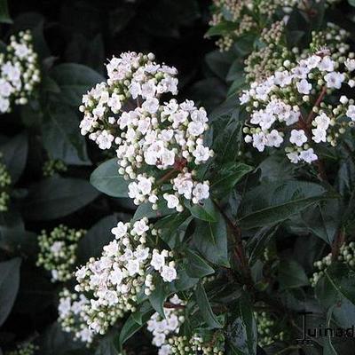 Viburnum tinus - Sneeuwbal - Viburnum tinus