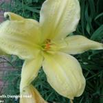 Hemerocallis 'Diamond Head' - Daglelie