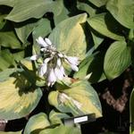Hosta 'Super Nova'  - Hartlelie/Funkia