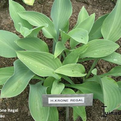 Hosta 'Krone Regal' -