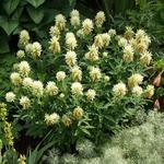 Trifolium ochroleucum - Klaver