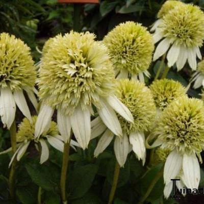 Echinacea purpurea 'Milkshake' -