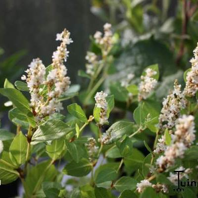Persicaria hybride 'Kahil' -