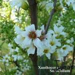 Xanthoceras sorbifolium - Xanthoceras sorbifolium - Chinese Bloeiende Kastanje