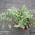 Athyrium niponicum 'Metallicum' - Japanse regenboog - Athyrium niponicum 'Metallicum'