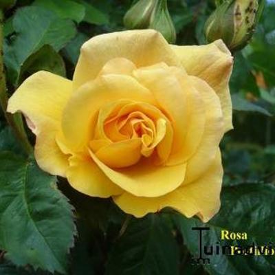 Rosa 'Postillion' -