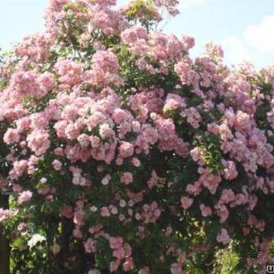 Rosa 'Apple Blossom' -