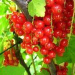 Aalbes, Rode bes, Trosbes - Ribes rubrum (rode bes)