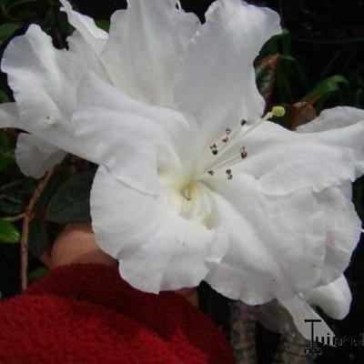 Rhododendron fragrantissima -