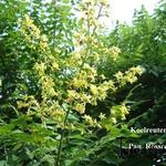Koelreuteria paniculata 'Rosseels' - Koelreuteria paniculata 'Rosseels' - zeepboom, Lampionboom