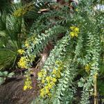 Acacia cultriformis - Acacia cultriformis - Mimosa