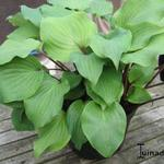 Hosta' Harry van der Laar' - Hartlelie/Funkia