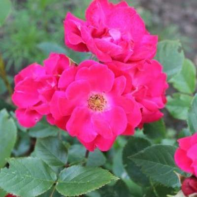 Rosa 'Cera' -