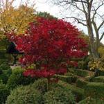 Acer palmatum  'Red Dragon' - Acer palmatum  'Red Dragon' - Japanse esdoorn