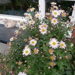 Chrysanthemum rubellum -