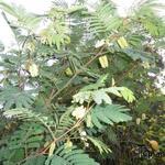 Albizia lophanta -