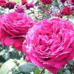 Rosa 'Winschoten' - Roos - Rosa 'Winschoten'