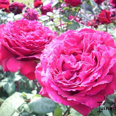 Rosa 'Winschoten' -
