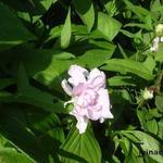Calystegia hederacea 'Flore Pleno' - Calystegia hederacea 'Flore Pleno' - Dubbelkelkwinde