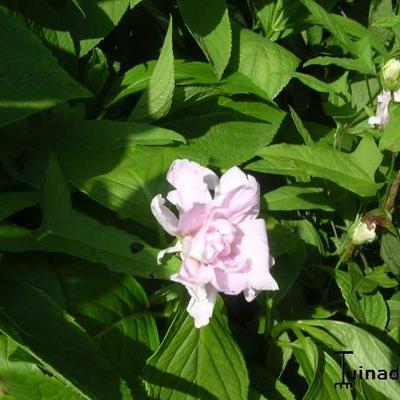 Calystegia hederacea 'Flore Pleno' -