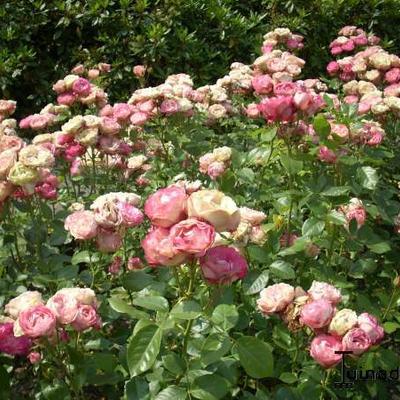 Rosa 'Acropolis' -
