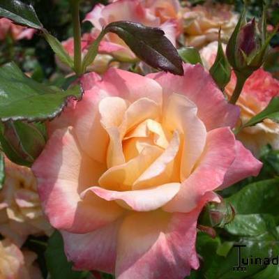 Rosa 'Samaritan' -