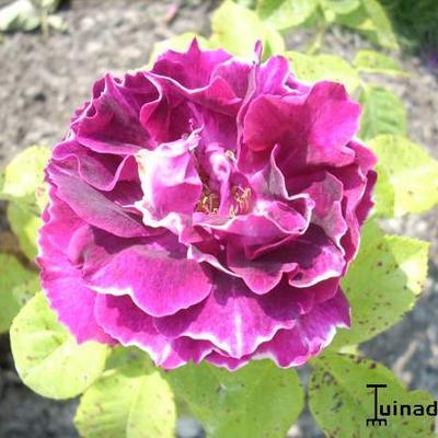 Rosa 'Baron Girod de l'Ain' -