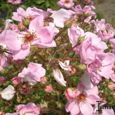 Rosa 'Sweet Haze' -