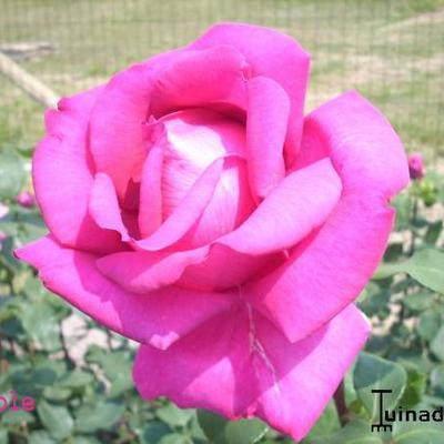 Rosa 'Parole' -