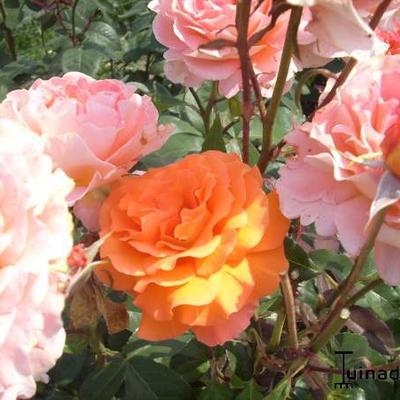 Rosa 'Tea Time' -