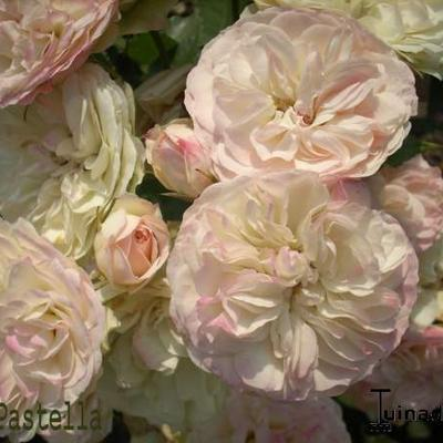 Rosa 'Pastella' -