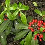 Skimmia japonica subsp. reevesiana - Skimmia - Skimmia japonica subsp. reevesiana