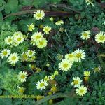 Anthemis hybrida 'E.C. Buxton' - Gele kamille
